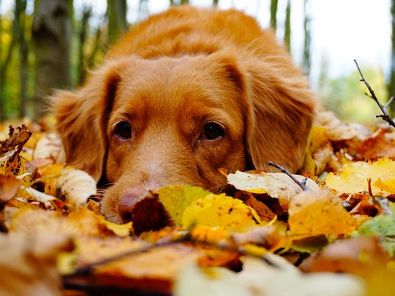 A dog laying down in a pile of autumn leaves | Motif