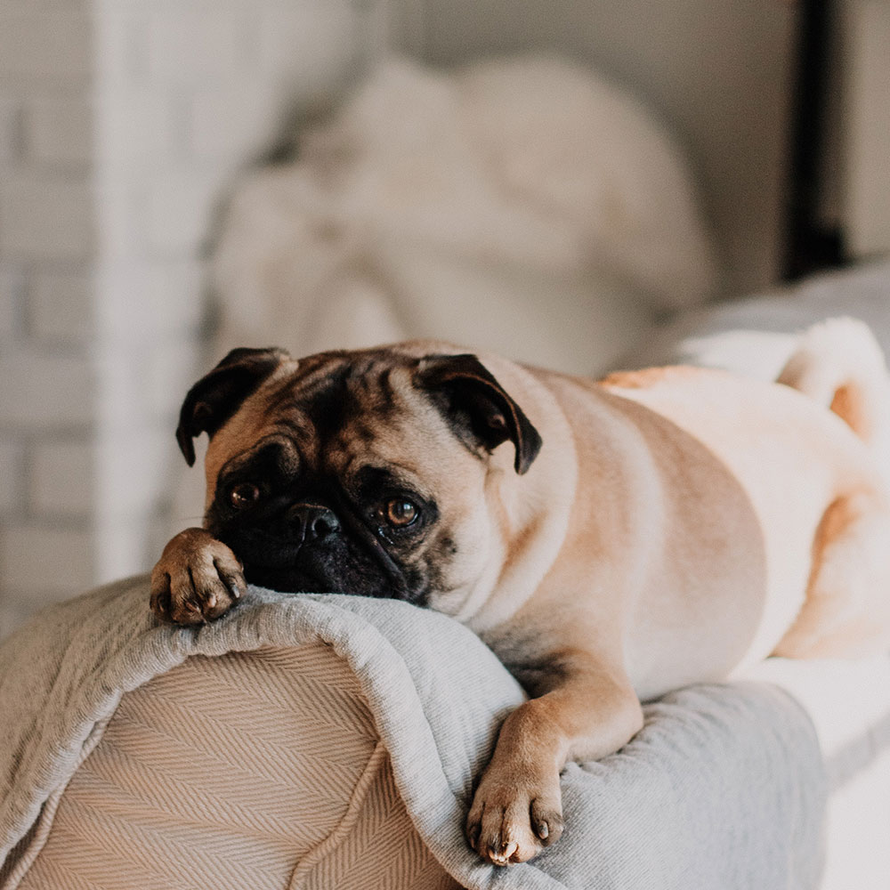 A pug laying down on a towel on top of a couch | Motif