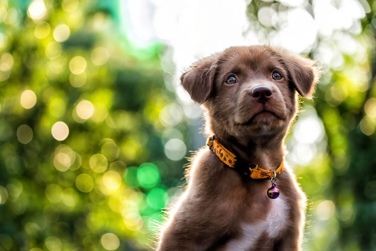 A chocolate lab puppy in front of greenery | Motif