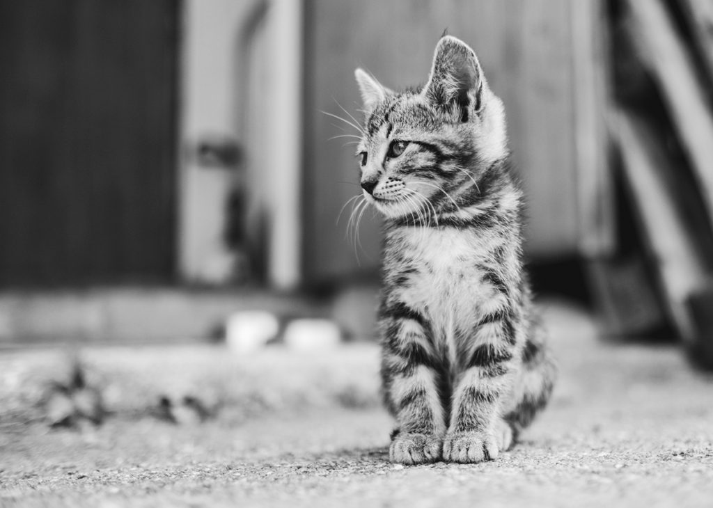 Black and White Portrait of a Striped Kitten | Motif