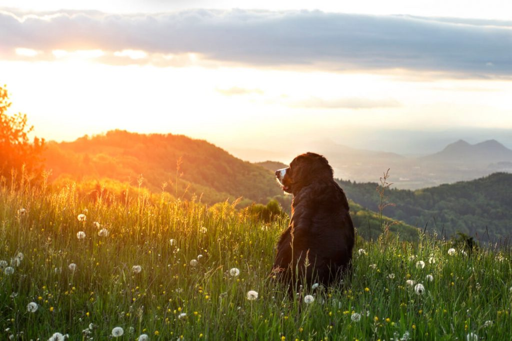 Portrait of Bernese Mountain Dog looking over the mountains at sunset