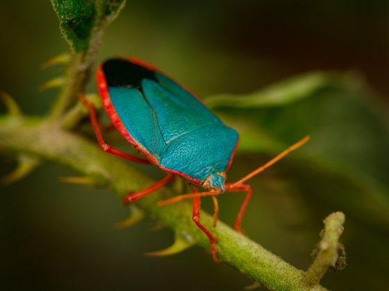 Blue Stink Bug