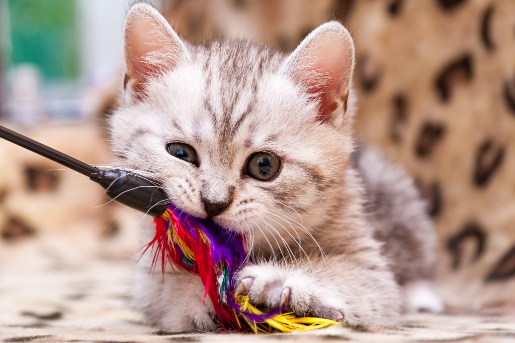 Get great pet photos from a kitten playing with a feather wand toy.