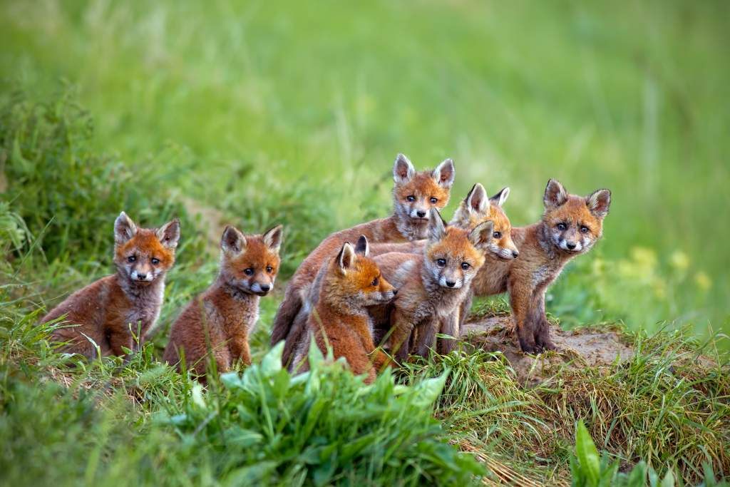 Wildlife photography ideas: a monochrome green background keeps the focus on 7 red fox cubs.