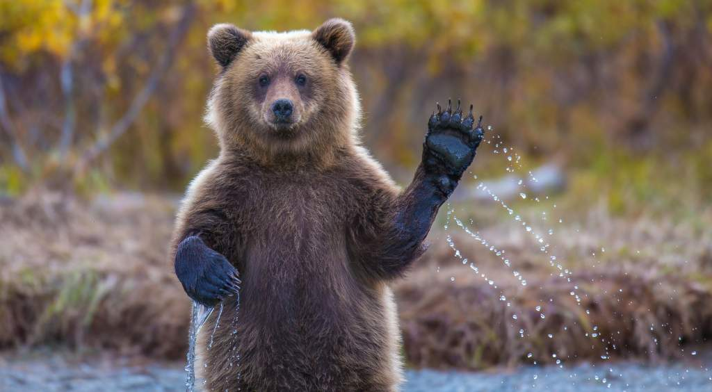 Wildlife photography ideas: catch animals gesturing, like a bear standing & waving a paw.