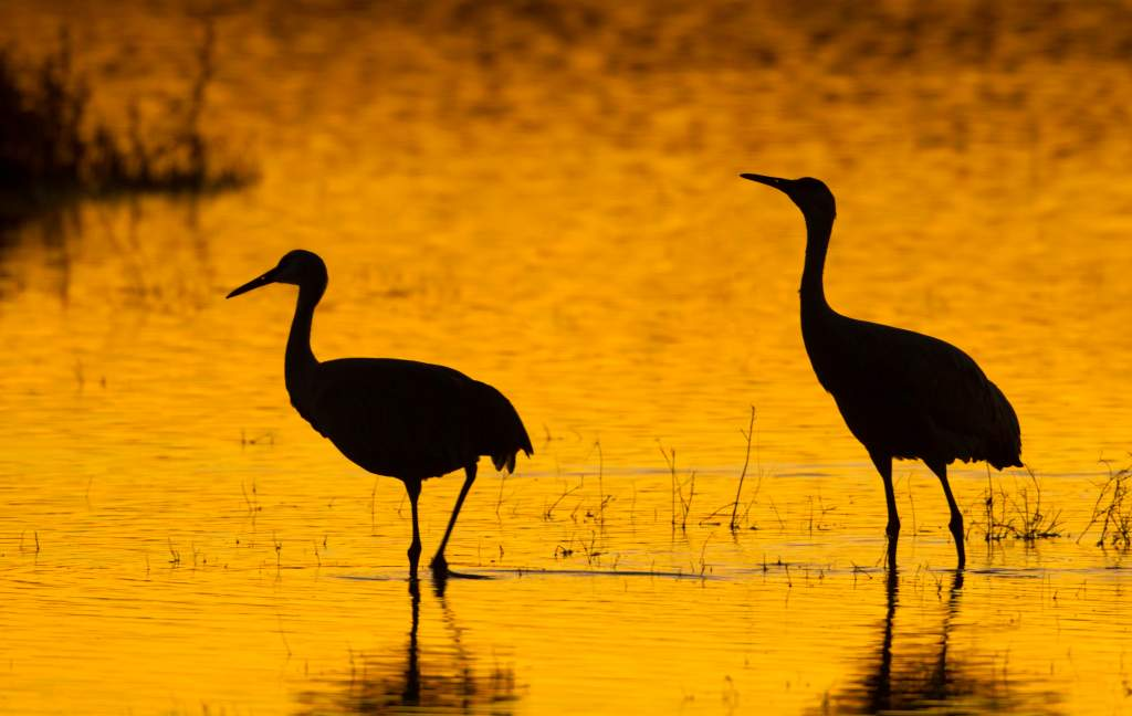 crane silhouettes in on a lake at sunset are great wildlife photography ideas.