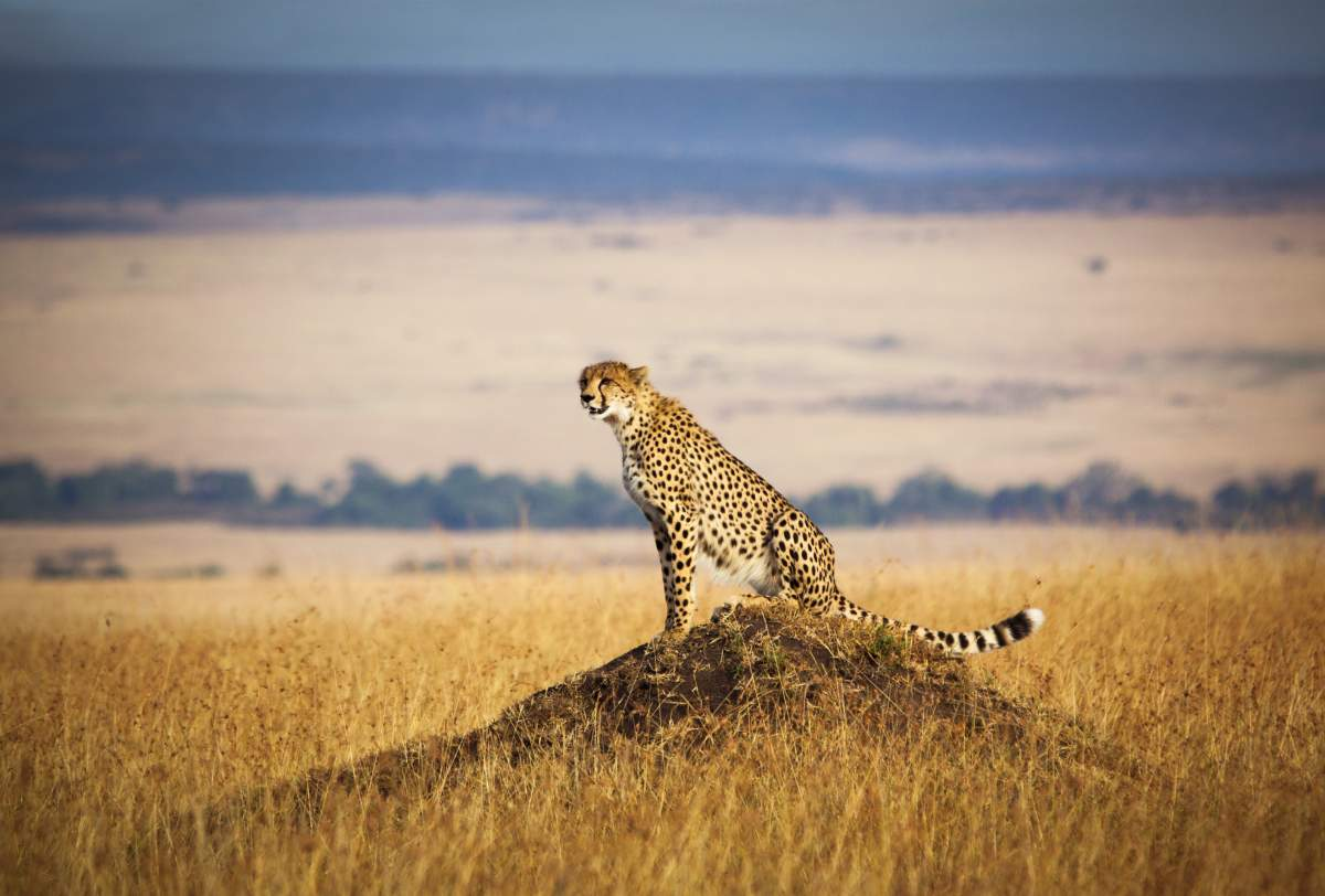 Wildlife photography ideas: how to capture cheetahs in golden grass and other unique nature pictures.