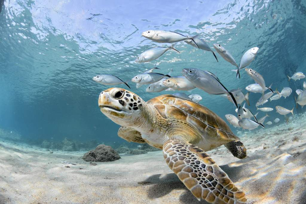 A turtle and school of fish swim in clear shallow water during an underwater photography shoot.