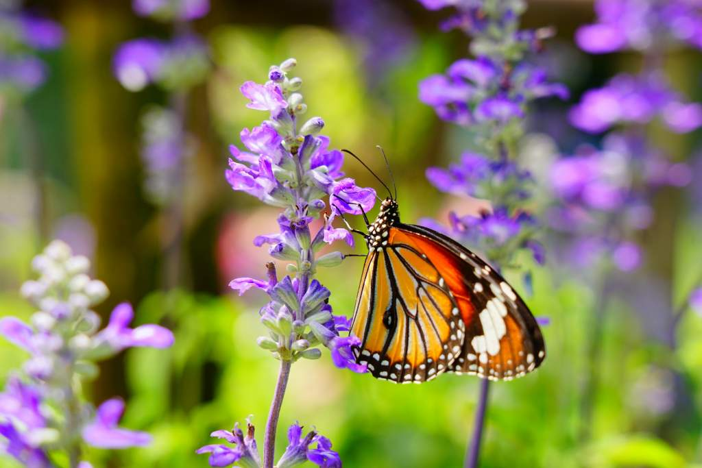 Up-close image of a butterfly on lavender illustrates iPhone vs. DSLR debate for macro photography.