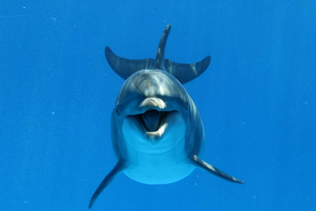 Bottlenose dolphin looks directly into the camera during the underwater photography shoot.