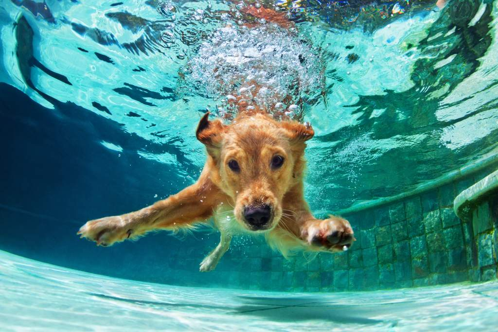 An underwater photography idea: golden labrador dives into the pool with bubbles overhead