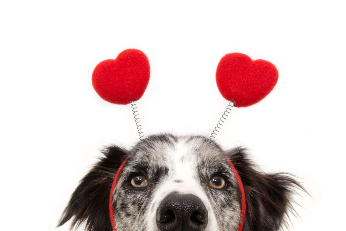 close-up hide dog love wearing a heart shape diadem. valentine's day concept. Isolated on white background.