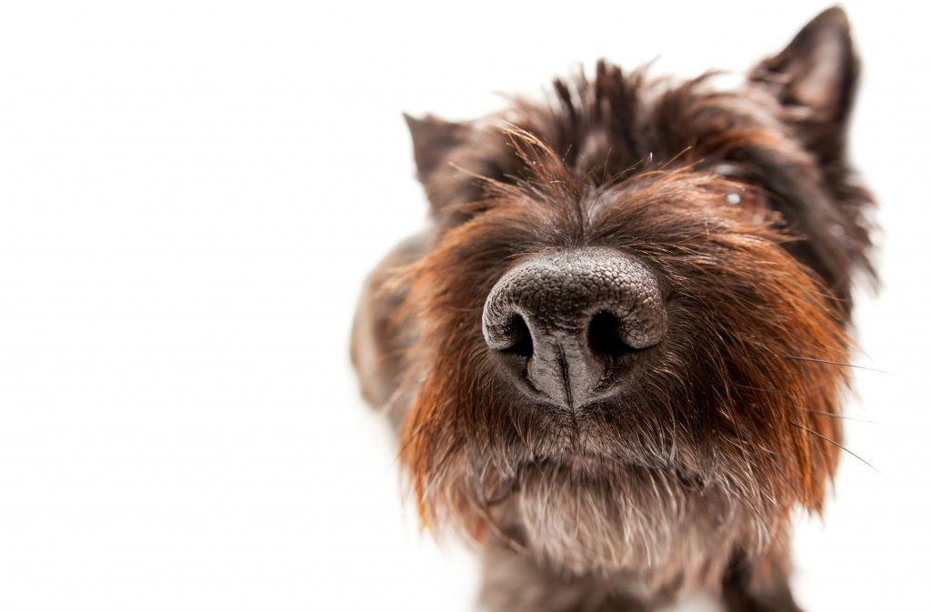 Funny Portait of a Cairn Terrier