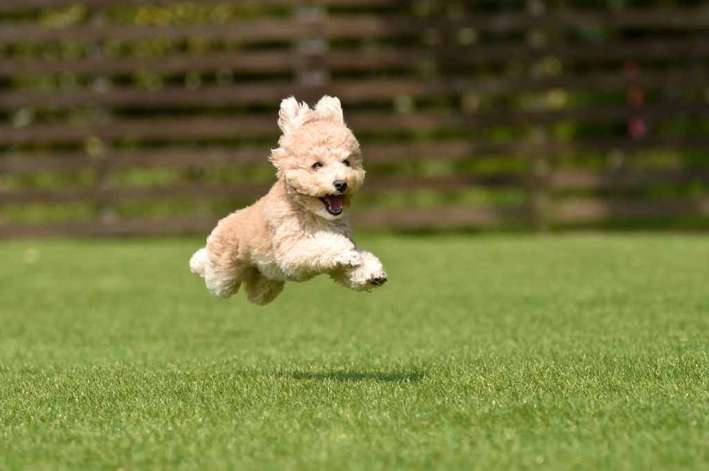 Miniature poodle playing with dog run