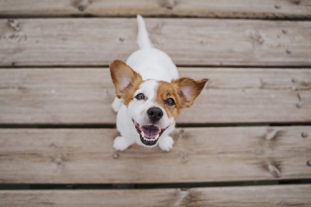Top view of cute small jack russell terrier dog sitting on a wood bridge outdoors and looking at the camera.