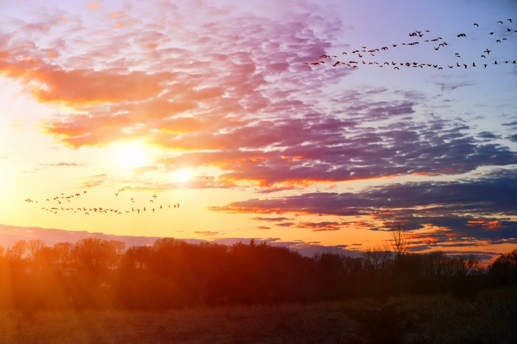 Migrating geese flying in V formation
