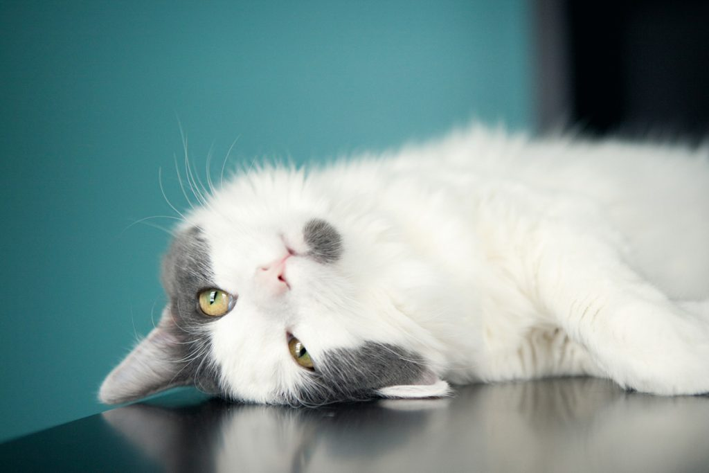 A cat laying down on a table | Motif